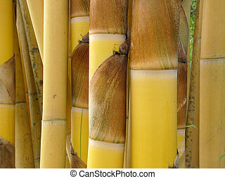 Golden bamboo in Thailand