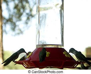 Full House - Hummingbirds feeding at feeder filling all...