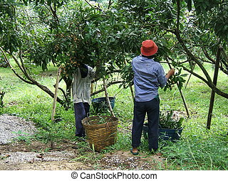 Longan plantation - Men working in a longan plantation in...
