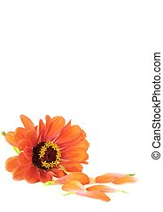 invitation - soft focus flower ,isolated,great for...