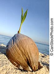 Coconut Seedling - Coconut sprouting on tropical beach