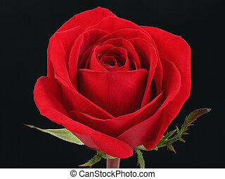 Red Rose Against Black - Single red rose against black...