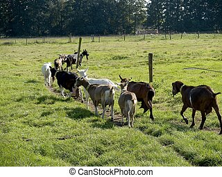 Livestock, goat - Goats walking in the meadow