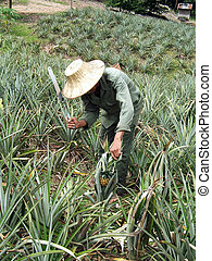 Farmworker - Man working in a pineapple plantation in...