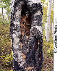 Tree Rot - Rotting tree in Colorado forest