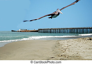 Soaring Pelican - Pelican soaring accross the beach