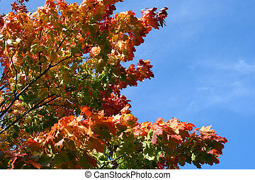 Maple tree in autum - Colorful maple tree against blue sky