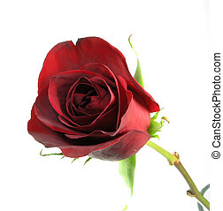 Single Rose - Single red rose close up isolated over white