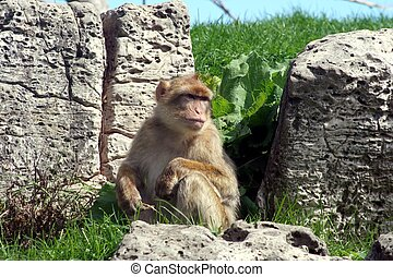 Monkey - A japanese Macaque sitting on a rock looking out...
