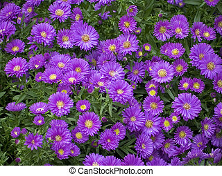 Purple Mums - This is a shot of a large group of purple mums...
