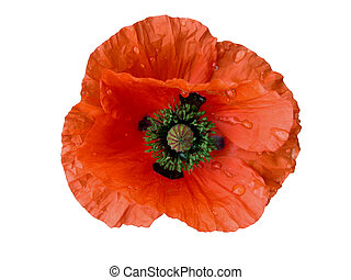 Wet Poppy-design element - Wet poppy isolated over white...