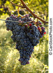 Chianti Grapes - Grapes on a Vine in the Chianti Region of...
