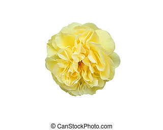 Yellow Rose - Yellow rose on white background.