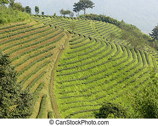 Thai tea plantation - Tea plantation in northern Thailand