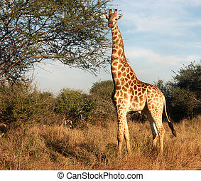 Giraffe attention - Giraffe in South Africa