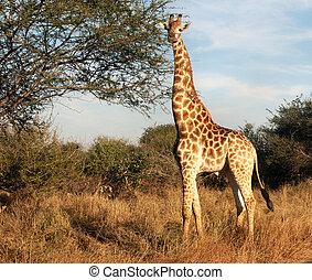 zsiráf, figyelem