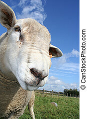 sheep - a curious sheep. Shallow DOf with focus on left eye
