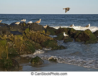 On The Rocks - This is a shot of some seagulls around the...