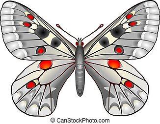 Butterfly - Parnassius butterfly
