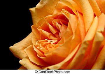 peach rose over black - peach rose, macro over black