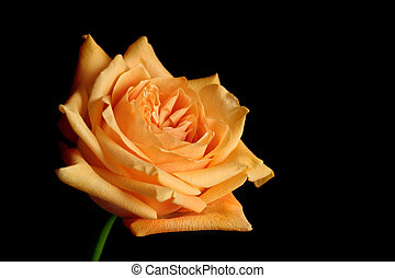 peach rose, macro over black with limited depth of field