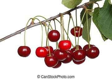 Cherries - Isolated branch with cherries