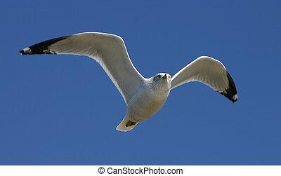 Gull - Flying gull