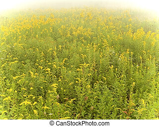 Goldenrod Field - This is a shot of a field of goldenrod...