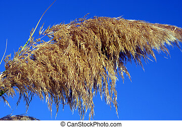 pampas grass - Detail of pampas grass against blue sky, cala...