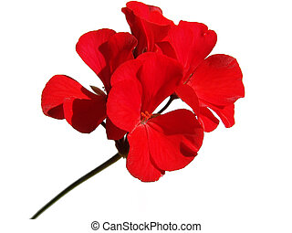 Geranium flower - A red geranium flower isolated on white