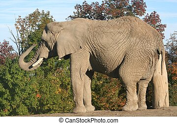 Elephant - An African elephant with her trunk curled up