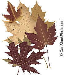 Autumn Leaves - Four maple leaves draw actual size, with...