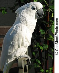 Umbrella Cockatoo - Shot of a white umbrella cockatoo