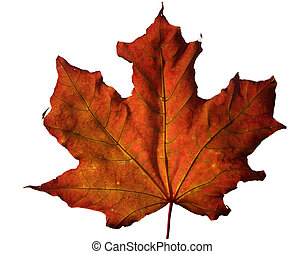 Fall Maple Leaf - Red fall maple leaf