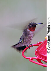 Hummingbird Takeoff - Male Ruby Throated Hummingbird Just...