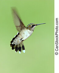 Hovering Hummingbird - Female Ruby Throated Hummingbird...
