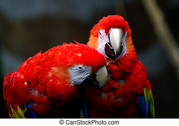 Two macaws - two macaws in love