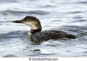 Common Loon Adult in Winter Plumage - Common Loon Adult in...