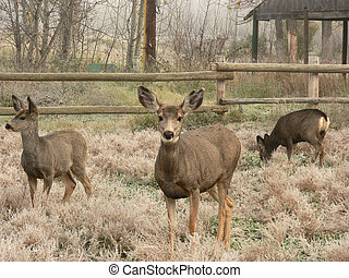 Mule Deer Family - Three Mule Deer at Fish Creek Park,...