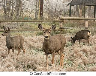 Mule Deer Family - Three Mule Deer at Fish Creek Park,...
