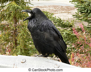 Noisy Raven - Common Raven (Corvus corax) perched on guard...