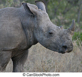 RHino - White rhino in the late afternoon