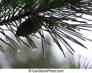 Wet Pine - Photo of pine tree limb after a slow rain.
