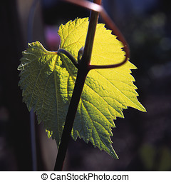 grape leaf - one wine grape leaf, backlit