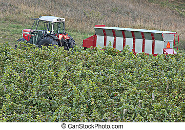 Vineyard Hopper - A tractor with hopper in a vineyard. Focus...