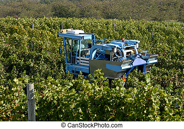 Grape Harvest - A mechanical grape harvesting machine in a...