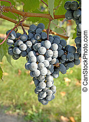Pinot Noir Grapes - True Pinot Noir grapes. Focus = the...