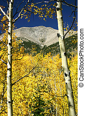 Aspens at Mt. Shavano - Mt. Shavano is framed by colorful...