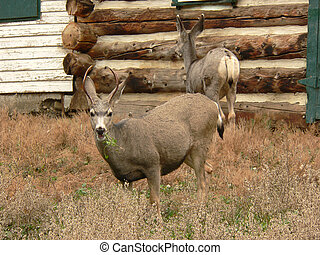 Mule Deer Pair - Two Mule Deer during Autumn by old barn...