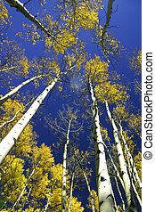 Aspen Cathedral - The tall golden aspens form natures...